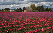 Skagit Framed Prints - Field of Color Framed Print by Mike Reid