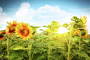 Plantation Photos - Field of colorful sunflowers and blue sky  by Sandra Cunningham