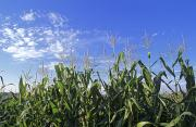 Cornstalks Prints - Field Of Corn Against A Clear Blue Sky Print by Kenneth Garrett