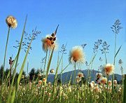 Large Group Of Objects Art - Field Of Cotton Grass In Alaska. by Dagny Willis