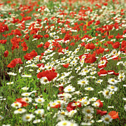 Outdoors Prints - Field of daisies and poppies. Print by Bernard Jaubert