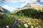 Banff Prints - Field of daisies and wild flowers Print by Sandra Cunningham
