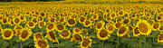 Field Of Domestic Sunflowers Print by Kenneth M Highfill and Photo Researchers