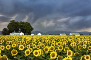 Flowers Sunflowers Barn Prints - Field Of Flowers  Print by James Steele