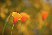 Poppies Art - Field of Gold by Mike Reid
