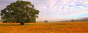 Australian Open Metal Prints - Field Of Gold Metal Print by Paul Riemer