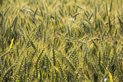 Wheat Digital Art - Field of Green by Mike McGlothlen