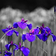 Mauve Photos - Field of Iris. by Mandi Ward