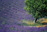 Provencal Photos - Field of lavender by Bernard Jaubert