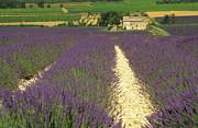 Field Of Lavender. Drome Print by Bernard Jaubert