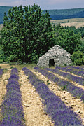 Shed Photo Framed Prints - Field of lavender. Sault Framed Print by Bernard Jaubert