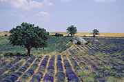 Sault Framed Prints - Field of lavender. Sault. Vaucluse Framed Print by Bernard Jaubert