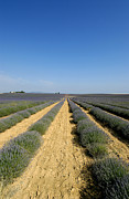 Provence Photos - Field of lavender. Valensole by Bernard Jaubert