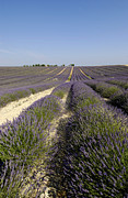 Provencal Photos - Field of lavender. Valensole. Provence by Bernard Jaubert