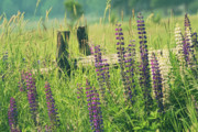 Field Of Lupin Flowers  Print by Sandra Cunningham