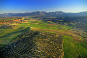 Aerial Photo Posters - Field Of Olives Poster by Guido Montanes Castillo
