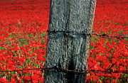 Barbed Wire Framed Prints - Field of poppies with a wooden post. Framed Print by Bernard Jaubert
