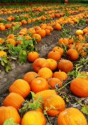 Fall Cards Prints - Field of Pumpkins Card Print by Carol Groenen