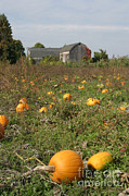 Pumpkin Patch Photos - Field Of Pumpkins by Ted Kinsman