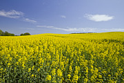 Rapeseed Photos - Field of Rapeseeds by Melanie Viola