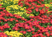 Colored Flowers Prints - Field of Red and Yellow Flowers Print by Carol Groenen