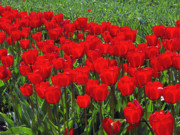 Red Flowers Digital Art - Field of Red Tulips by Sharon  Talson