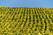 Yellow Flowers Posters - Field of sunflowers Poster by Bernard Jaubert