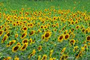 Provence Photos - Field Of Sunflowers In Bloom by Anne Keiser