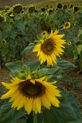 Chianti Tuscany Posters - Field Of Sunflowers In Tuscany Poster by Todd Gipstein