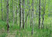 Birch Tree Metal Prints - Field Of Teens Metal Print by Donna Blackhall