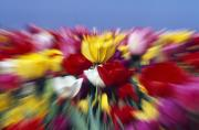 Woodburn Photos - Field Of Tulip Flowers With Zoom-effect by Natural Selection Craig Tuttle