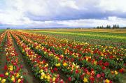 Life Line Posters - Field Of Tulips Poster by Greg Vaughn - Printscapes