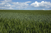 Cornfield Photos - Field of wheat by Bernard Jaubert