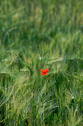 Bucolic Framed Prints - Field of wheat with a solitary poppy. Framed Print by Bernard Jaubert
