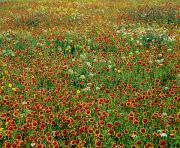 Texas Wild Flowers Posters - Field Of Wildflowers Poster by David Chapman