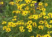 Sabrina L Ryan - Field of Yellow Flowers