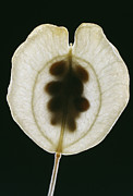 Seedpod Prints - Field Pennycress Seed Pod Print by Dr Jeremy Burgess