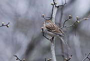 Randy Bodkins - Field Sparrow