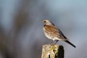 Flocks Of Birds Posters - Fieldfare watching  Poster by Cliff  Norton