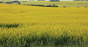 Prairies Prints - Fields of Gold Print by Jim Sauchyn