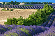 Sami Sarkis Metal Prints - Fields of lavender and harvested wheat Metal Print by Sami Sarkis