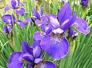 Purple Florals Framed Prints - Fields of Purple Japanese Irises Framed Print by Jennie Marie Schell