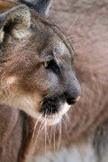 Mountain Lion Framed Prints - Fierce Framed Print by Sabrina L Ryan