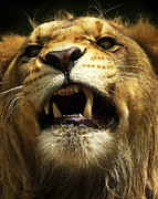 Lion Framed Prints - Fierce Framed Print by Wade Aiken