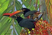 Tropical Rainforest Digital Art Prints - Fiery-billed Aracari Pair Print by Larry Linton