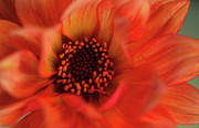 Macro Photos Prints - Fiery Dahlia Print by Kathy Yates