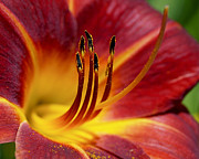 Lilies Prints - Fiery Lily Print by Rona Black