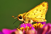 Nectar Posters - Fiery Skipper  Poster by Thomas R Fletcher