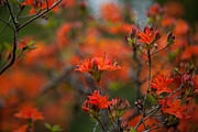 Rhodies Posters - Fiery Spring Poster by Mike Reid