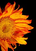 Fiery Sunflower Print by Daphne Sampson